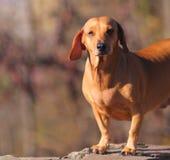 Perro de Brown Imagenes de archivo