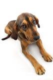 Perro de Brown Foto de archivo
