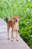 Perro de Brown fotos de archivo libres de regalías