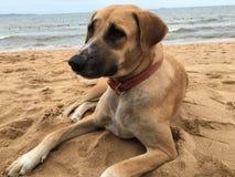 Perro de Brown Imágenes de archivo libres de regalías