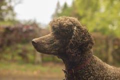 Perro de Brown Fotos de archivo