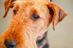 Perro de Brown Airedale Terrier imagenes de archivo