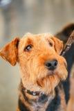 Perro de Brown Airedale Terrier imagen de archivo libre de regalías