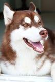 Perro de Brown con la cara de la sonrisa Imágenes de archivo libres de regalías