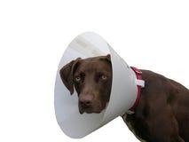 Perro de Brown con la gallineta de collar encendido Imagen de archivo
