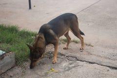 Perro de Brown en el país Tailandia foto de archivo libre de regalías