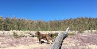 Perro de Brown en la playa Foto de archivo