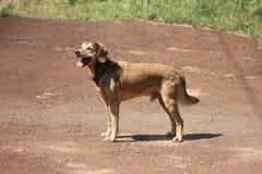 Perro de Brown en la tierra Día asoleado caliente Tiempo del verano fotos de archivo