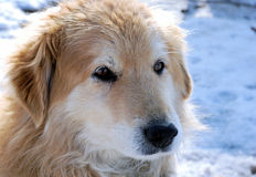 Perro de Brown en nieve Imagen de archivo libre de regalías
