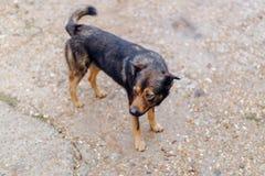 Perro de Brown que busca a su dueño fotografía de archivo libre de regalías