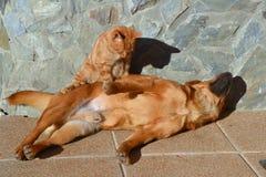 Perro de Brown que disfruta de un masaje por un gato rojo Imagen de archivo libre de regalías
