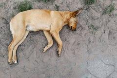 Perro de Brown que duerme en la visión superior de tierra imagenes de archivo