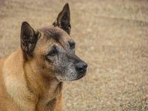 Perro de Brown que mira al extranjero Fotos de archivo