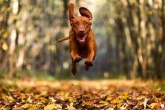 Perro de Brown que salta mientras que corre a la cámara Foto de archivo