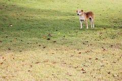 Perro de Brown que se coloca en la hierba con las hojas secadas Fotografía de archivo libre de regalías