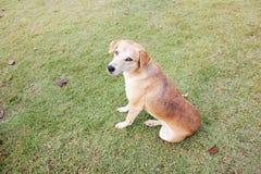 Perro de Brown que se sienta en la hierba con las hojas secadas Fotografía de archivo