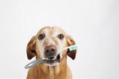 Perro de Brown que sostiene un cepillo de dientes Imágenes de archivo libres de regalías