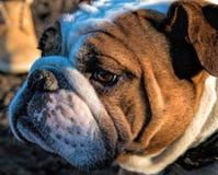 Perro de Bull Fotos de archivo libres de regalías