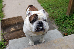 Perro de Bull del inglés Fotografía de archivo libre de regalías