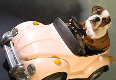 Perro de Bull en coche rosado imagenes de archivo