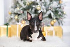 Perro de bull terrier del inglés que presenta para la Navidad Imágenes de archivo libres de regalías