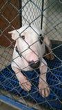 Perro de bull terrier en una jaula Fotos de archivo libres de regalías