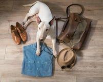 Perro de bull terrier y ropa y accesorios masculinos del vintage Imágenes de archivo libres de regalías