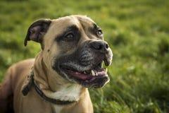 Perro de Bullmastiff Imagenes de archivo