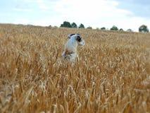 Perro de campo de trigo Imagenes de archivo