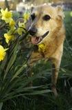 Perro de Canaan Fotos de archivo