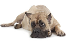 Perro de Cane Corso en el fondo blanco fotografía de archivo
