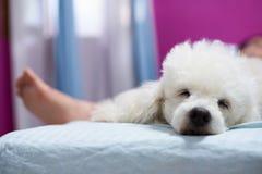Perro de caniche blanco el dormir Relax Foto de archivo libre de regalías