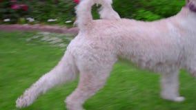 Perro de caniche blanco que juega con la bola en hierba verde almacen de metraje de vídeo