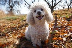 Perro de caniche blanco que sonríe feliz imagen de archivo