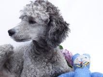 Perro de caniche con el peluche y lila, retrato Fotografía de archivo
