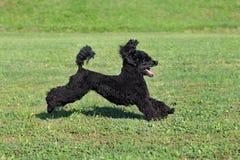 Perro de caniche del animal doméstico en la acción fotografía de archivo