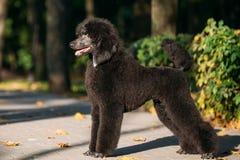 Perro de caniche estándar negro al aire libre Imagenes de archivo