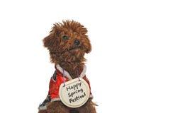 Perro de caniche feliz del festival de resorte Fotos de archivo libres de regalías