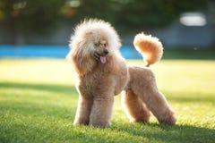 Perro de caniche mullido Foto de archivo libre de regalías