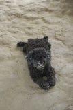 Perro de caniche negro Imagen de archivo libre de regalías