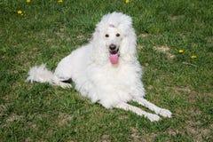 Perro de caniche real blanco que miente en la hierba verde Foto de archivo