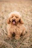 Perro de caniche rojo Fotos de archivo libres de regalías