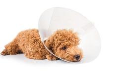Perro de caniche triste que lleva el cuello protector del cono en su cuello Foto de archivo libre de regalías