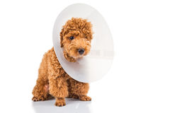 Perro de caniche triste que lleva el cuello protector del cono en su cuello Fotos de archivo libres de regalías