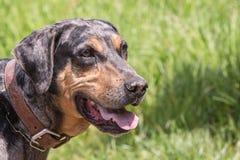 Perro de Catahoula que vive en Bélgica fotos de archivo libres de regalías