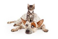 Perro de Catte con el gatito en su cabeza foto de archivo libre de regalías