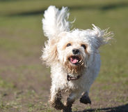 Perro de Cavapoo que corre a la cámara Imagen de archivo