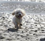 Perro de Cavapoo que corre a través de la arena en la playa Fotos de archivo