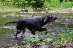 Perro de caza Fotos de archivo