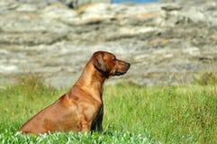 Perro de caza imagen de archivo libre de regalías